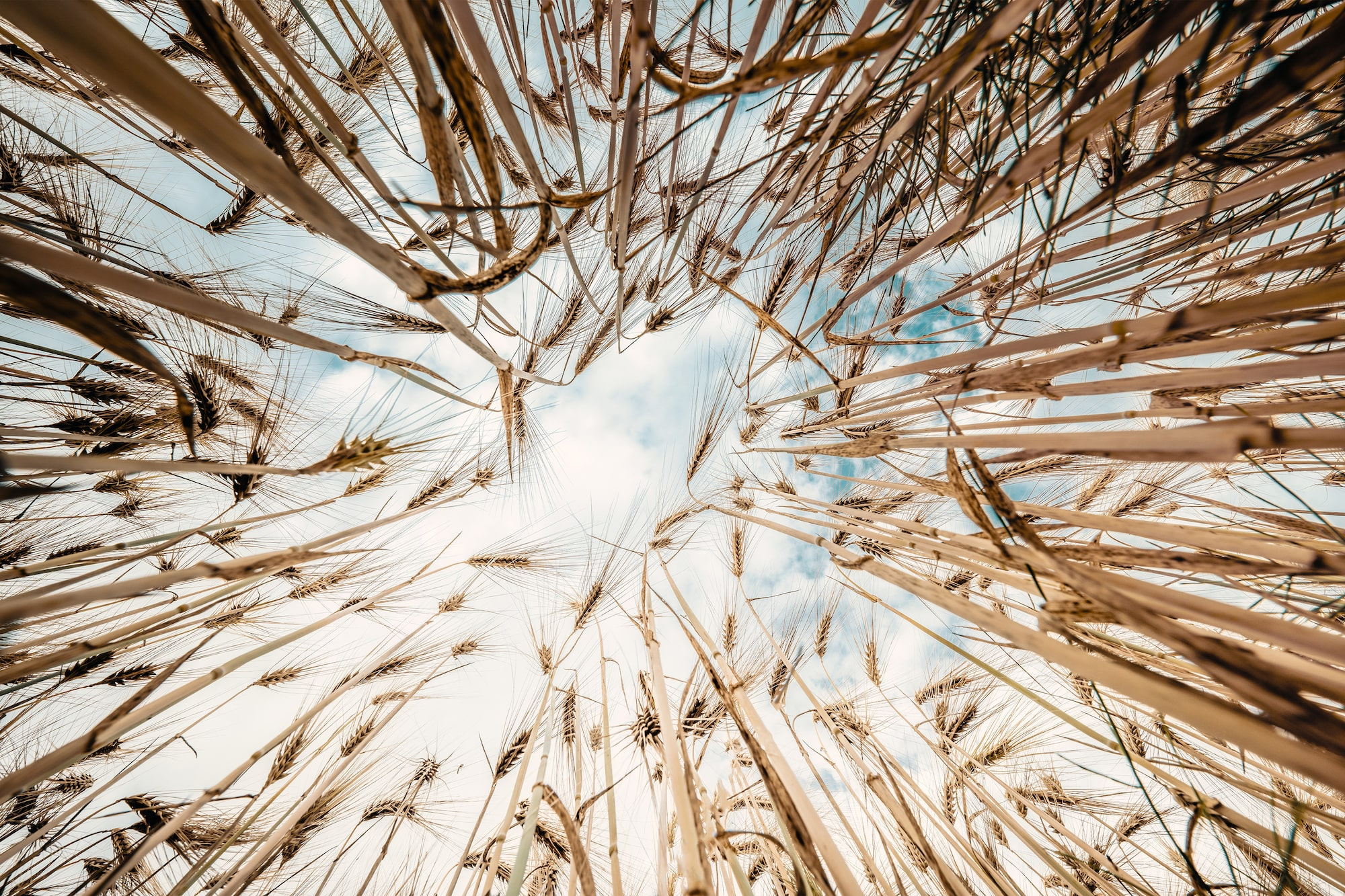 michael schaake sony alpha 7RM4 looking up through barley stems at the blue sky with clouds
