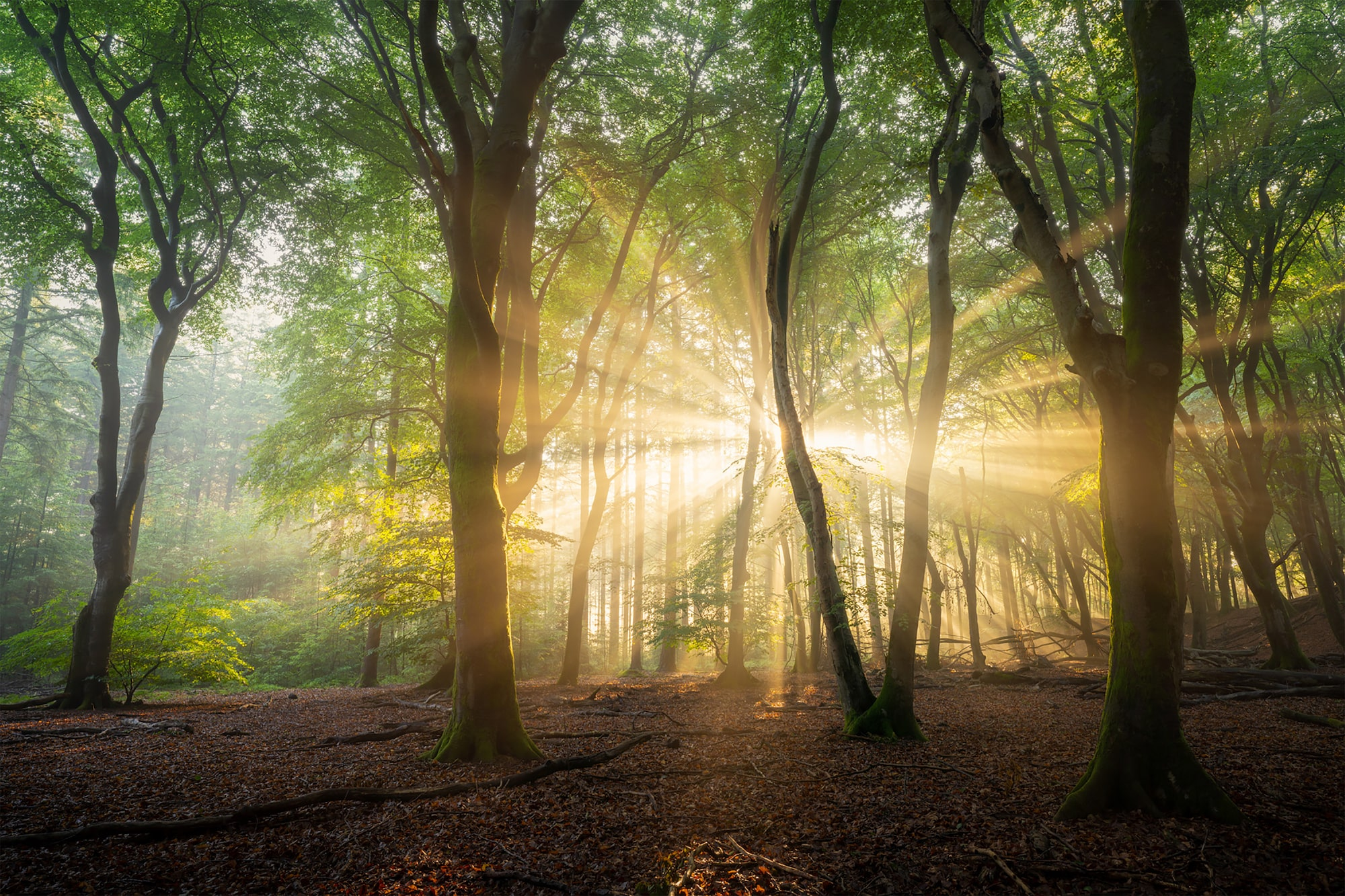 albert dros sony alpha 7RM4 sunlight breaking through trees in a forest in the netherlands