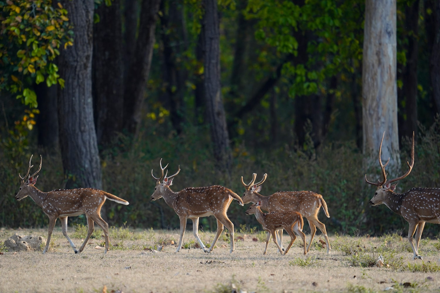 deer-group-moving-in-forest-alpha-7III