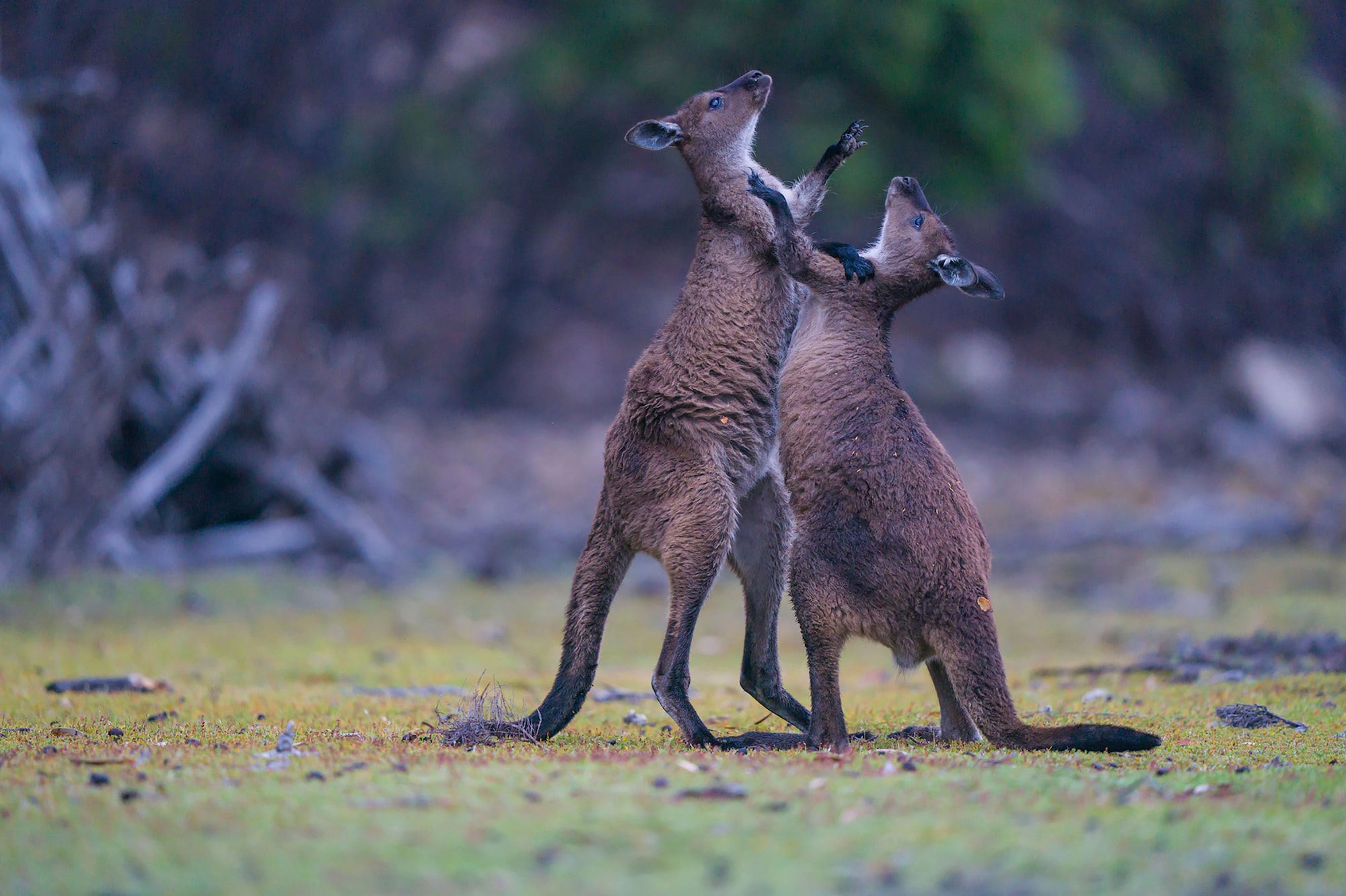 Image of wrestling joeys in Tasmania