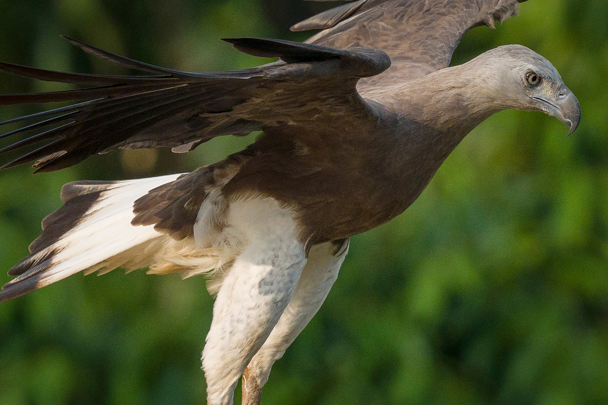 Sony Alpha 7R IV's 61 megapixels retain high-resolution even moderate crop of flying Grey-Headed Fish Eagle.