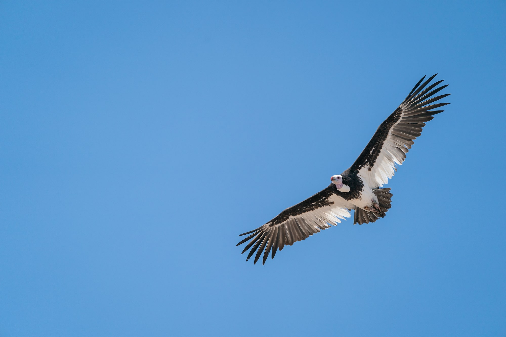 A rare white-headed vulture soars through the skies.