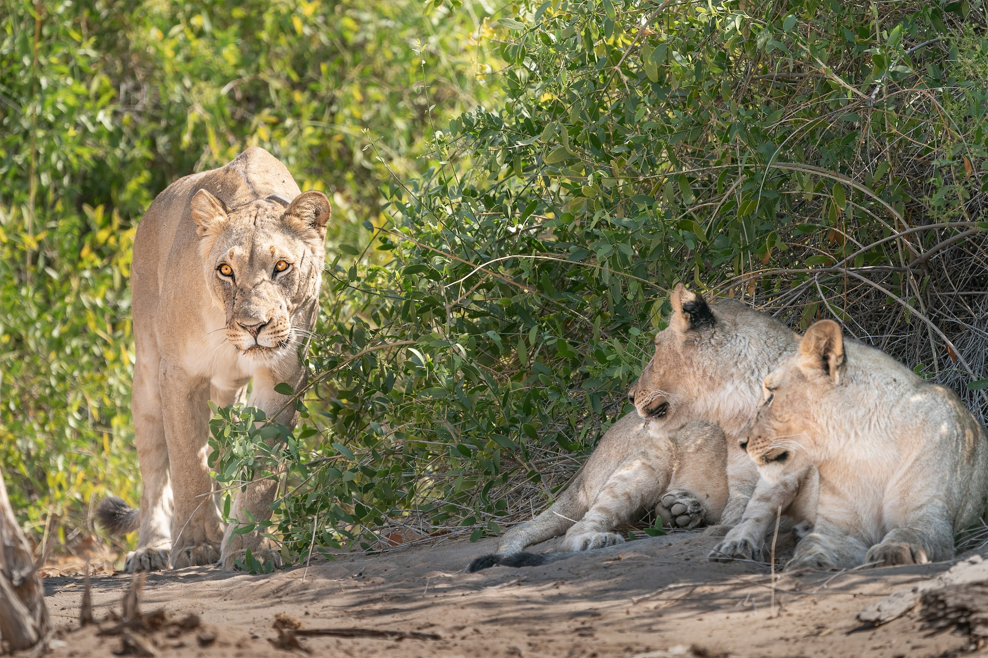 Lionesses take shelter in the bushes to hide from the heat of the blistering sun.